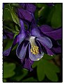 Picture Title - Purple Columbine