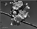 Picture Title - Flowers of apple-tree