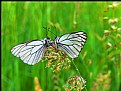 Picture Title - Butterflies...