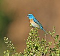 Picture Title - Lazuli Bunting