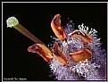 Picture Title - Verbascum