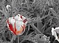Picture Title - Tulip-2