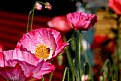 Picture Title - Keeyla's Poppies