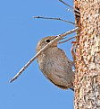 Picture Title - Male House Wren Logging In