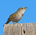 Picture Title - Male House Wren Calling for mate.