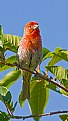 Picture Title - Male House Finch Calling