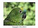 Picture Title - Brasilian Parrot
