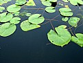 Picture Title - Lilly Pads