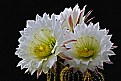 Picture Title - Awakening of a cactus family