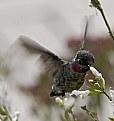 Picture Title - Colibri