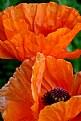 Picture Title - Orange Poppies