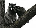 Picture Title - Racoons