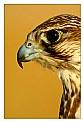 Picture Title - ...::Falcon Eye::...
