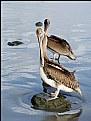 Picture Title - Pelicans