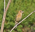 Picture Title - Female Blue Grosbeak
