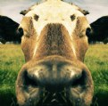 Picture Title - Cow Face