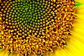 Picture Title - sunflower