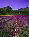 Picture Title - Mountain Lavender