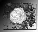 Picture Title - La Rossa