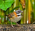 Picture Title - Rufous-Collared Sparrow in the rain.