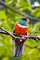 Picture Title - Male Collared Trogon in the rain
