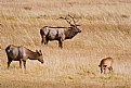 Picture Title - Bull Elk watching his harem and calves.