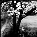 Picture Title - Appletree