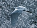 Picture Title - Egret In Ir