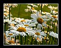 Picture Title - Field of Daisies