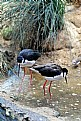 Picture Title - Black-necked stilts