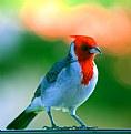 Picture Title - Hawaiian Cardinal
