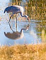 Picture Title - Greater Sandhill Crane