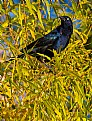 Picture Title - Common Grackle