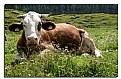 Picture Title - La vache  qui ride