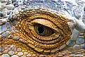 Picture Title - Iguana