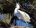 Picture Title - 4 legged Egret
