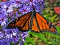 Picture Title - Monarch Butterfly
