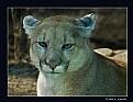 Picture Title - Cougar (d1916)