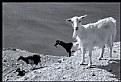 Picture Title - Le capre