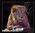 Picture Title - African Lion (d1918)