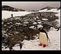 Picture Title - Friendly Gentoo