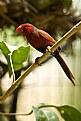 Picture Title - Crimson Finch