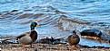 Picture Title - Ducks