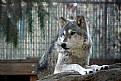 Picture Title - wolf at Folsom Zoo