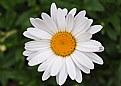 Picture Title - Simply Daisy