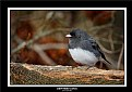 Picture Title - Dark-eyed Junco