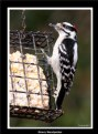 Picture Title - Downy Woodpecker