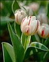 Picture Title - My Tulip