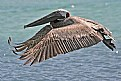 Picture Title - Brown Pelican
