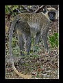 Picture Title - Green vervet monkey..